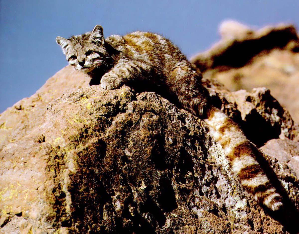 андская кошка (Oreailurus jacobita, Leopardus jacobitus), фото, фотография с http...