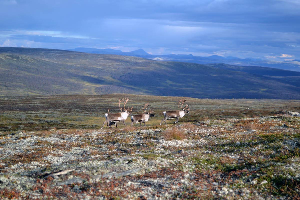 северные олени в Нацпарке Forollhogna