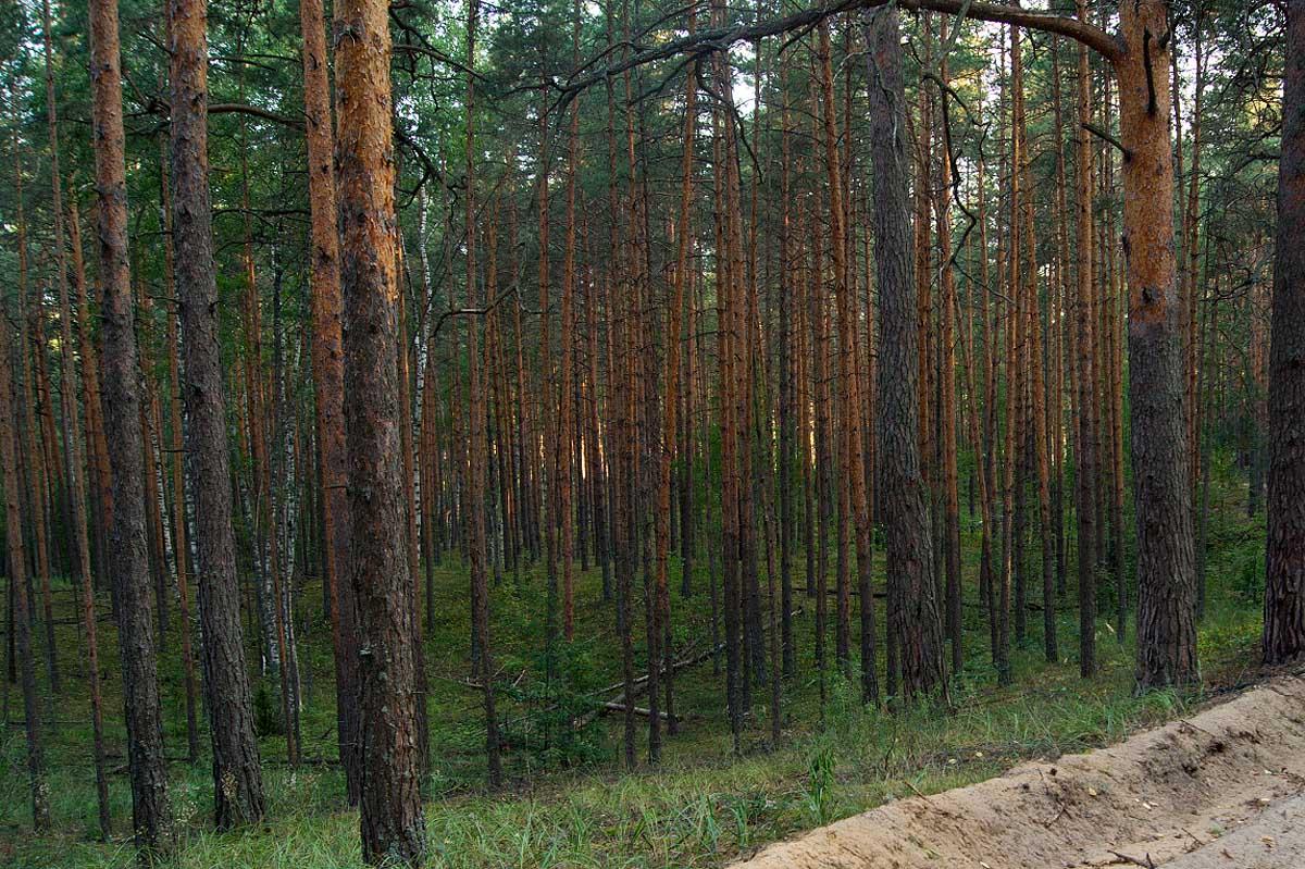 сосновый бор возле озера Лещёвое