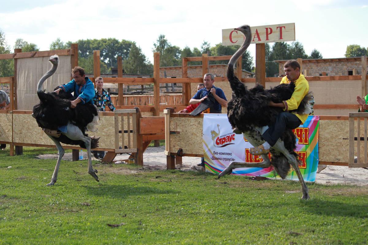страусиные бега на Ясногородской ферме
