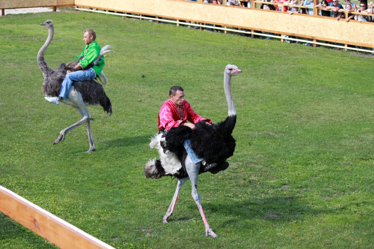страусиные бега на ферме в Ясногородке