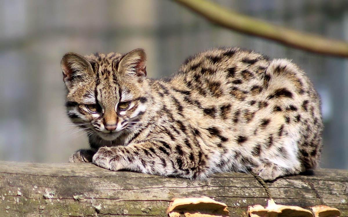 wild cat Ontsilla