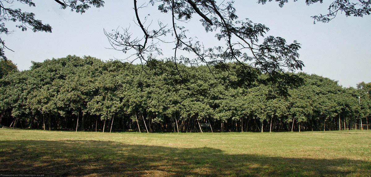 Great Banyan Tree, Indian Botanic Garden