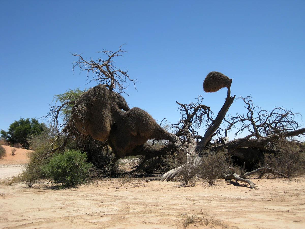 Philetairus socius nest in South Africa