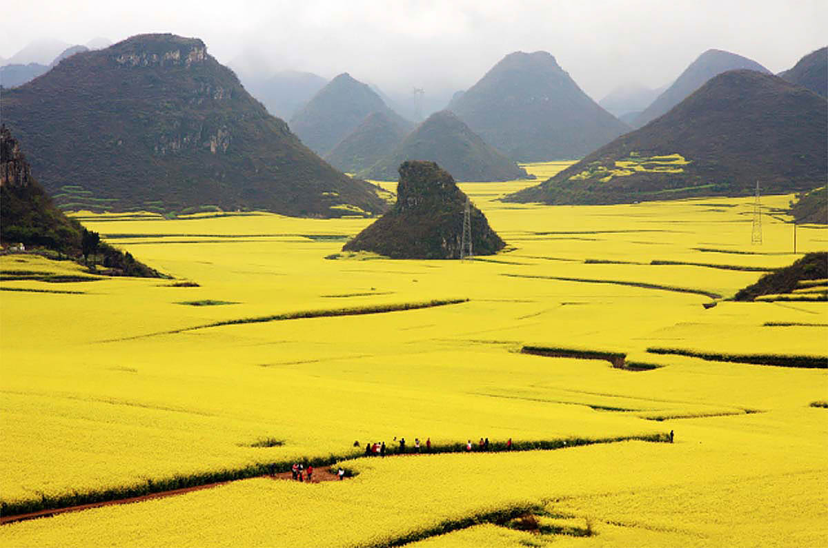 Rapeflowers Landscape in Louping, Yunnan