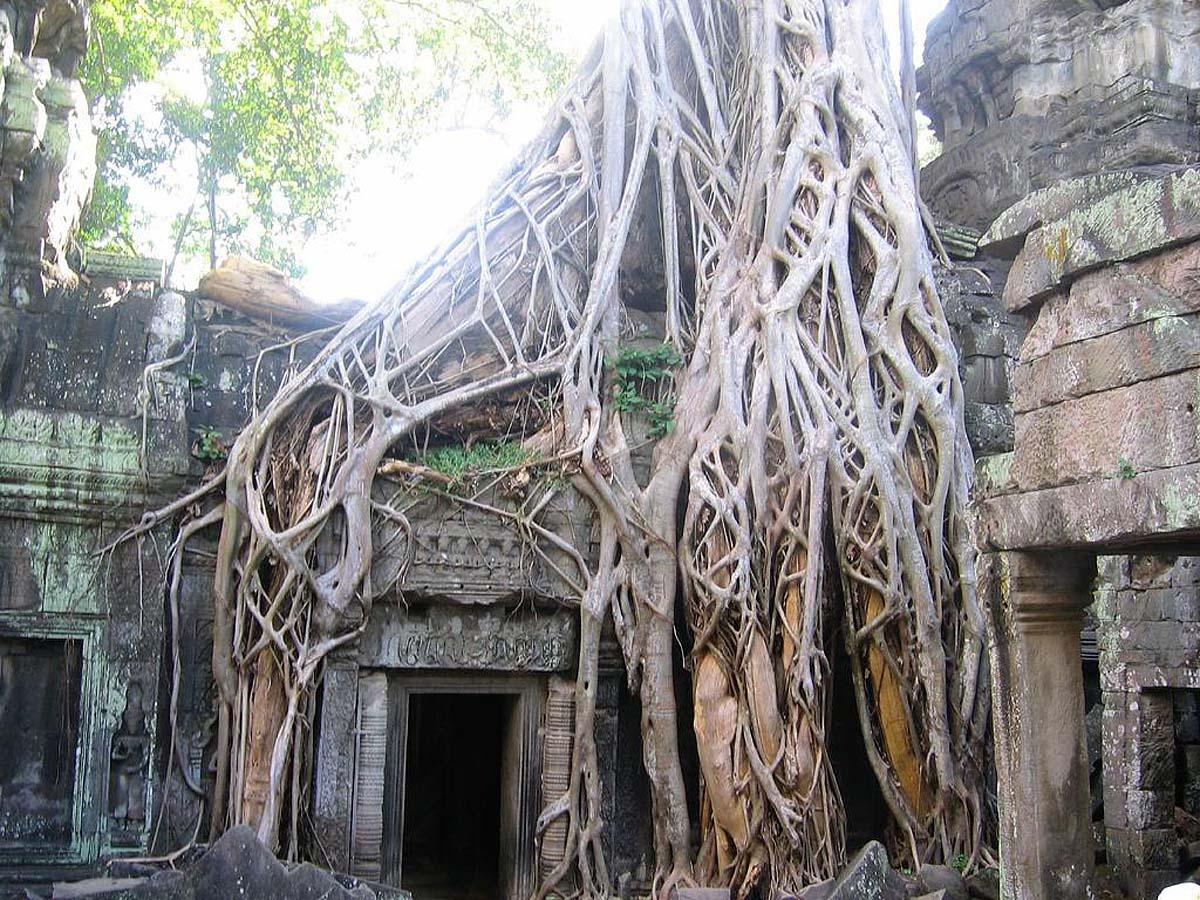 дерево бенгальский фикус