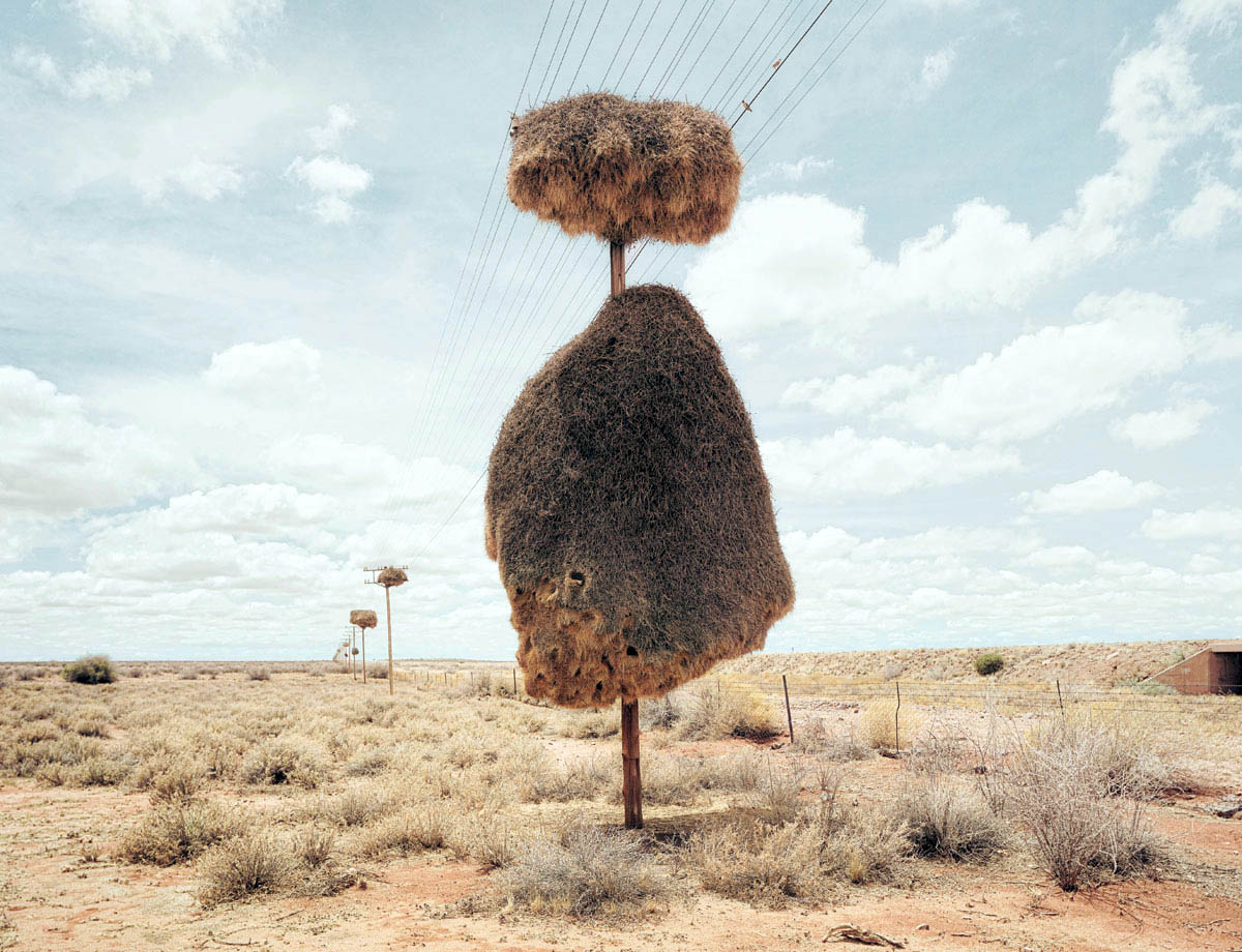 гнезда ткачей на телеграфных столбах