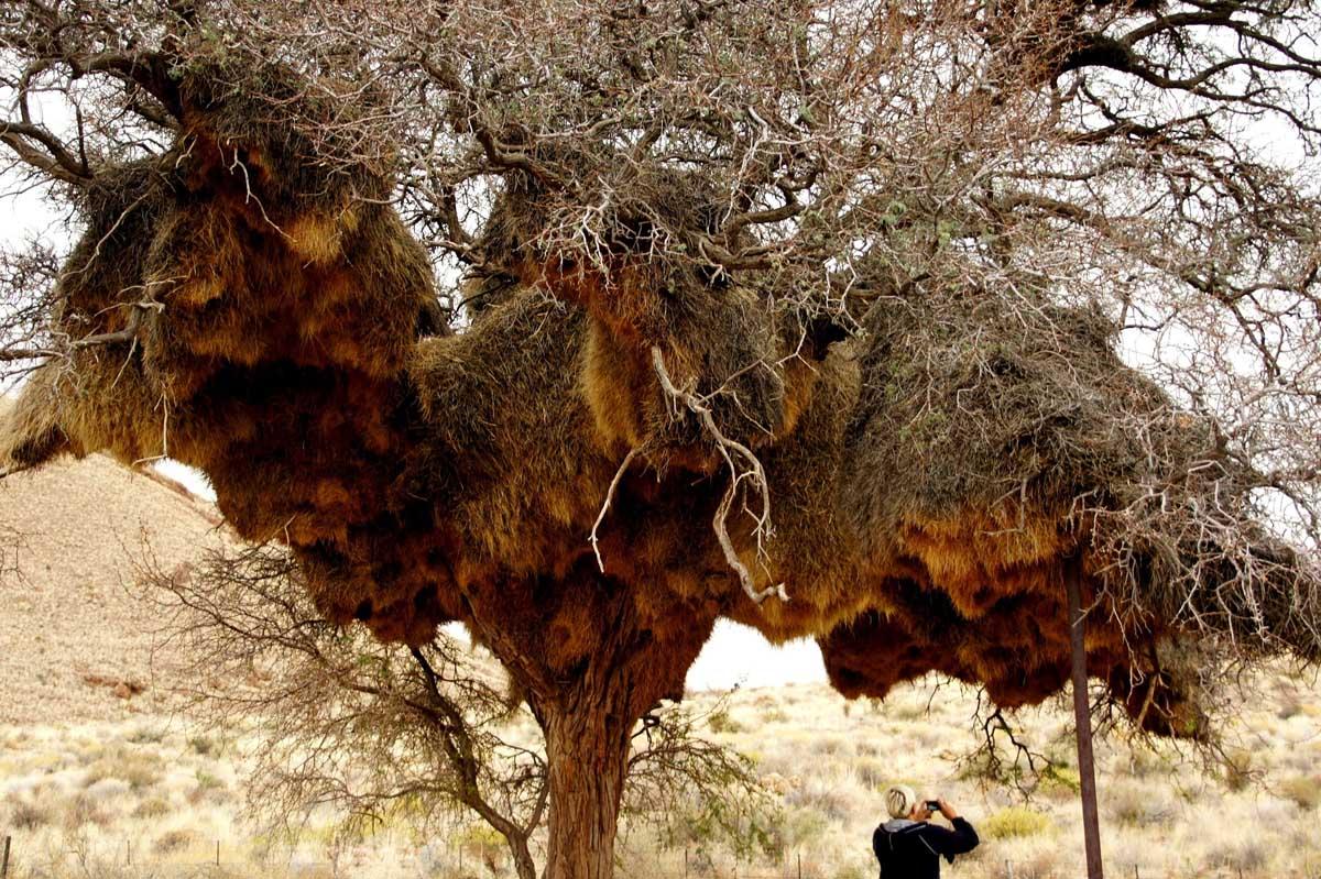 гнездо ткачей на дереве