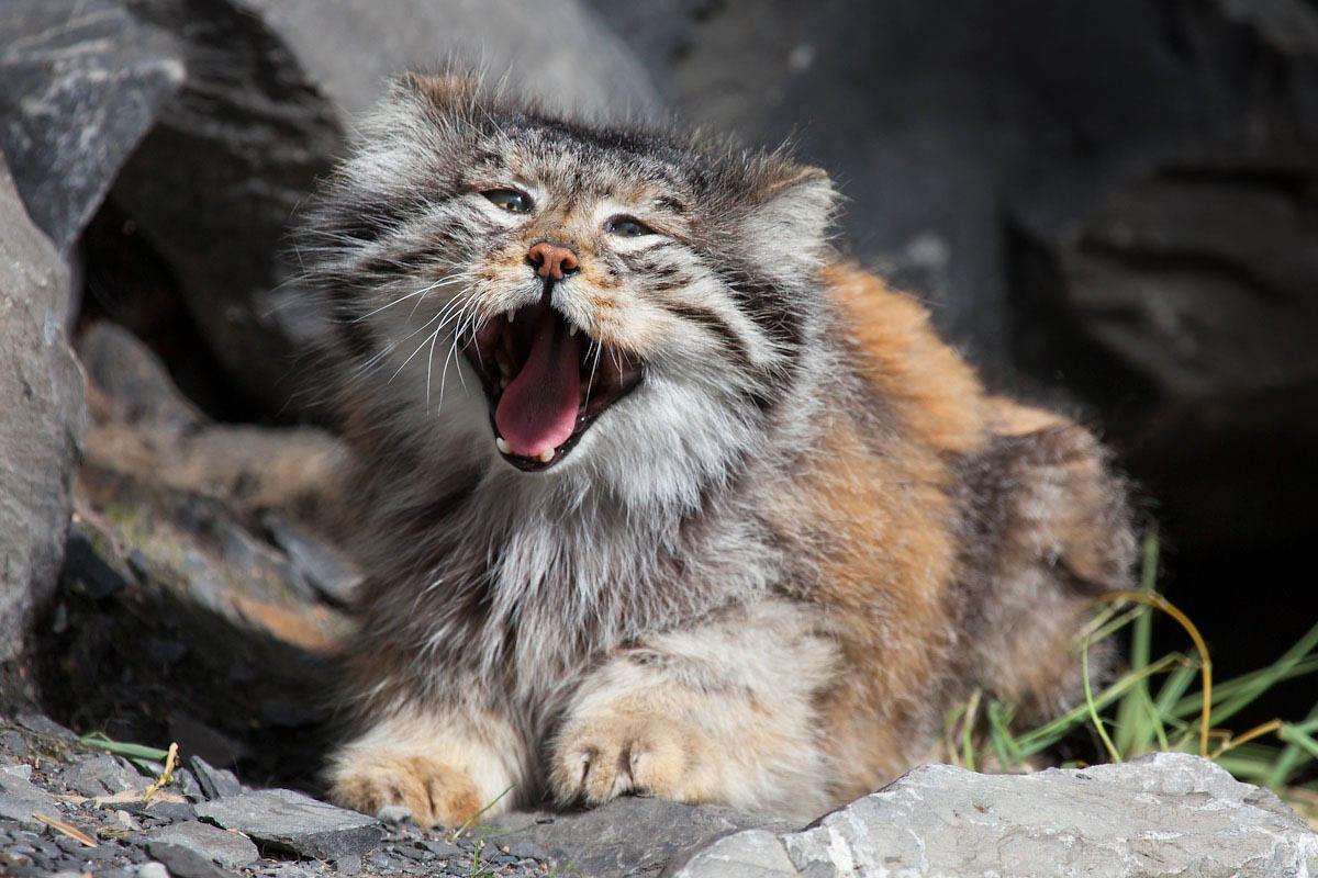 кот манул зевает