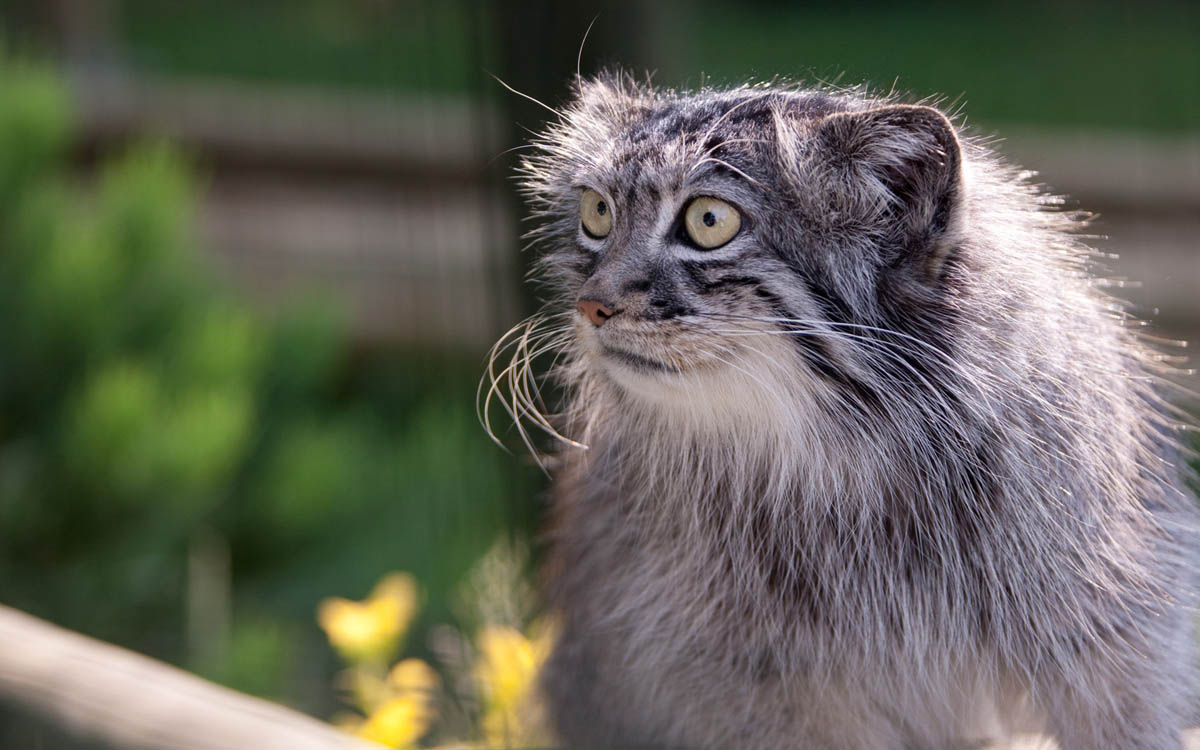 палласов кот
