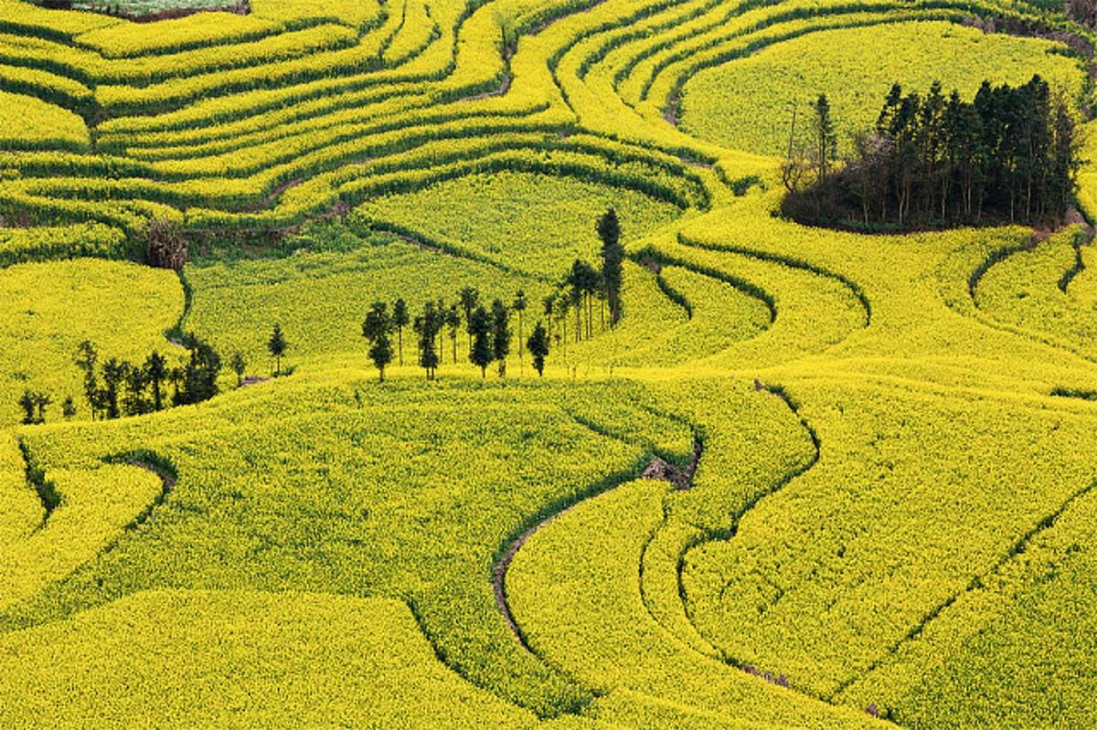рапсовые поля Нюцзе, Китай