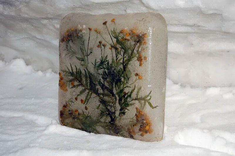 замерзшие растения в музее вечной мерзлоты