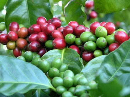 кофе арабский карликовый