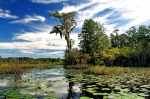 Okefenokee Swamp in Georgia State, USA