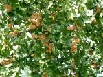 плоды Ginkgo Biloba