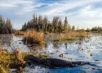 аллигатор на болоте Окефеноки
