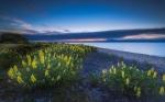 люпины на озере Таупо