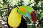 птица тукан в саду Миндо