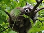 енот спит на дереве