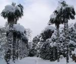 Крымские пальмы под снегом