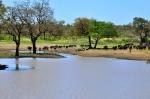 буйволы на водопое в Нацпарке Крюгера