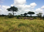 зебры в Нацпарке Крюгера