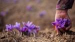 сбор цветов шафрана