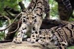дымчатые леопарды в зоопарке