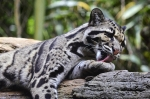 дымчатый леопард умывается