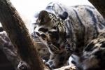 дымчатый леопард в зоопарке