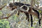 дымчатые леопарды спят на деревьях