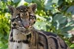 насторожившийся дымчатый леопард