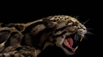 свирепый дымчатый леопард