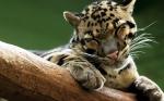дымчатый леопард отдыхает