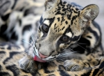 взрослый котенок дымчатого леопарда