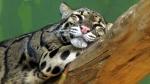 дымчатый леопард спит