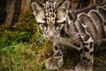 котенок дымчатого леопарда