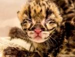 новорожденный котенок дымчатого леопарда