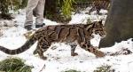 дымчатые леопарды на снегу
