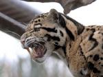 клыки дымчатого леопарда
