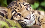 морда дымчатого леопарда