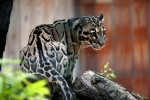 окрас дымчатого леопарда