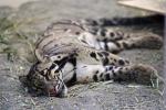 спящий дымчатый леопард