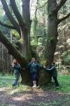 многоствольный старый дуб в Зеленограде