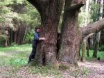 многоствольный старый дуб