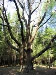 многоствольный старый дуб, Зеленоград