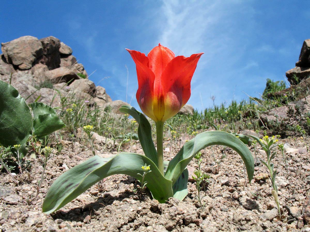 Тюльпаны в природе. Кратко об интересном