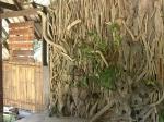 живая стена в Улу-Тембуронг