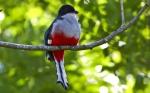 птица токороро
