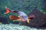 морской петух в аквариуме Батискаф